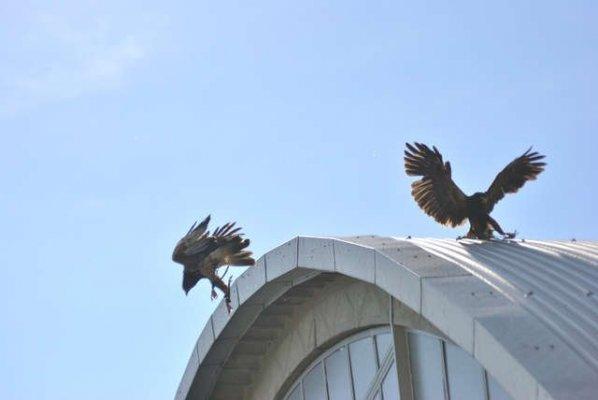 Allontanamento uccelli dai capannoni